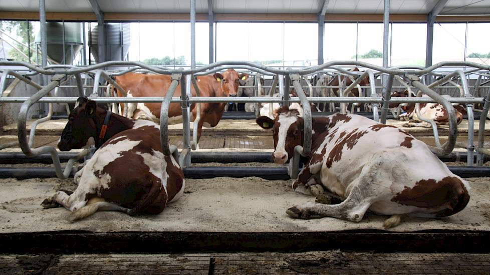 DAP Beilen op www.melkvee.nl over gips in ligbox (beeld: Ruth van Schriek)