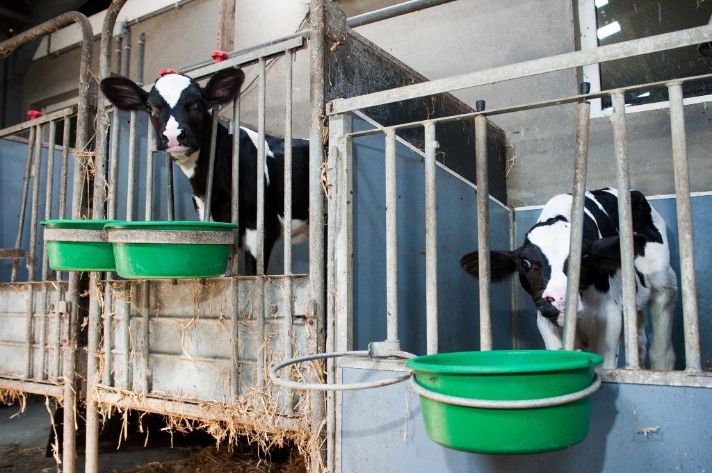 Melkvee voeding en rantsoensamenstelling