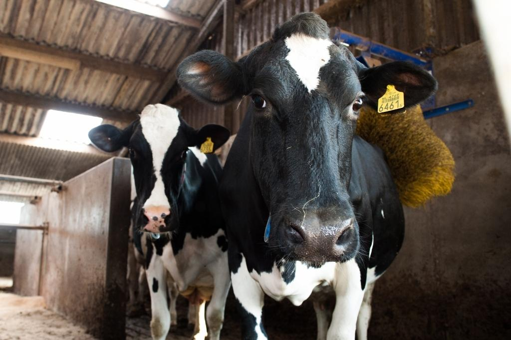 DAP Beilen bij RTV Drenthe over antibioticagebruik bij melkvee