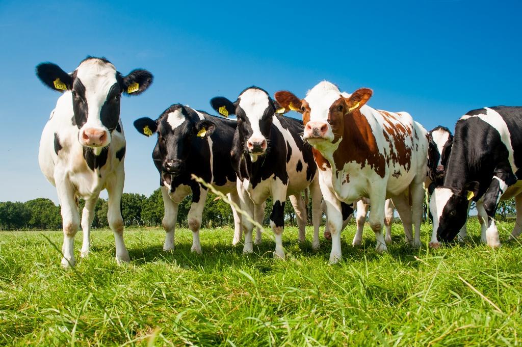 Duurzame koeien
