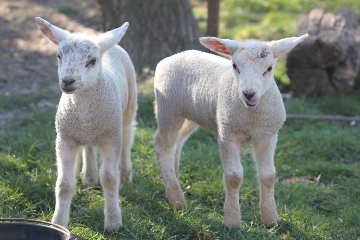 Schaap vruchtbaarheid lam