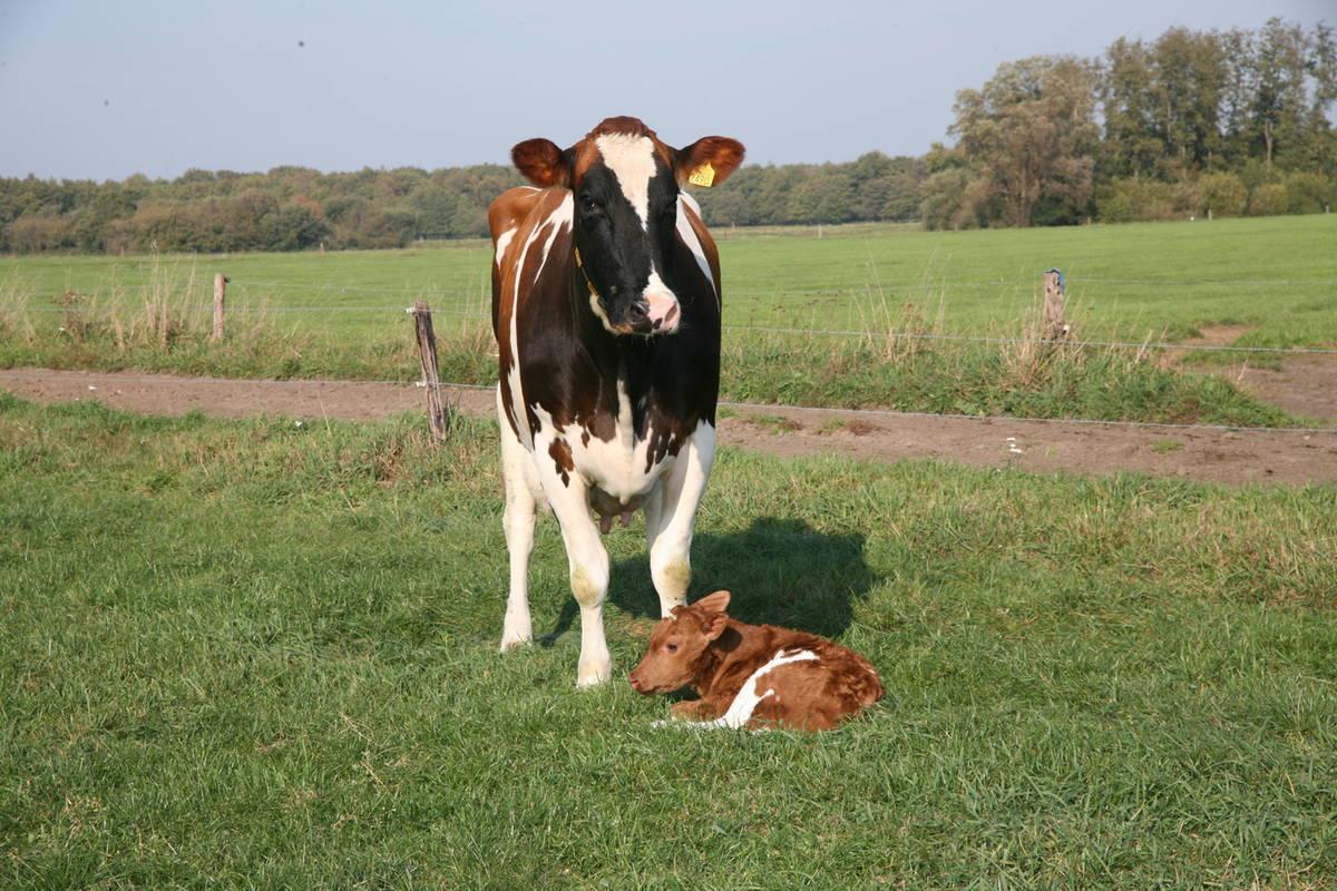 6e kalfs koe met haar kalf
