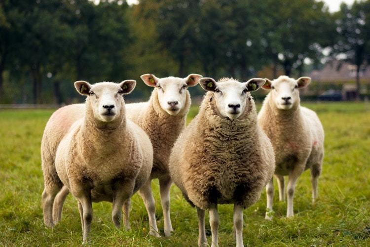 Gezonde schapen