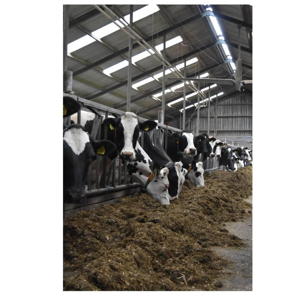 Veilig werken in de stal met koeien