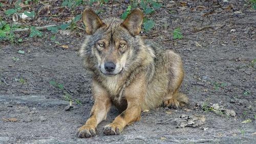 Wolf in Zwiggelte